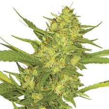 Sour Diesel Marijuana Seeds, buy weed online