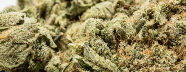 Skunk #1 Marijuana Strain