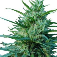 OG Kush Marijuana Seeds