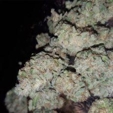 G13 Marijuana Strain